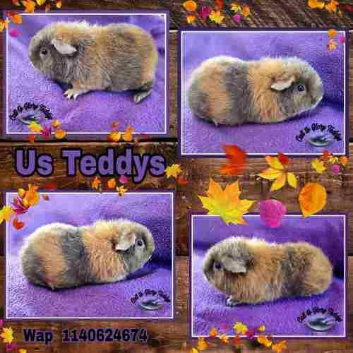 Cobayos us teddys