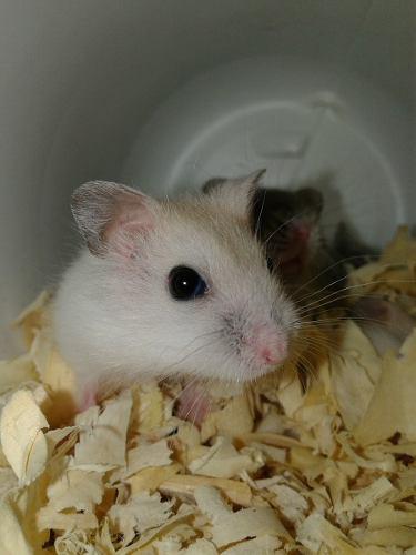 Hamster ruso / topo ruso