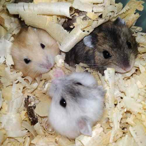 Hamsters rusos bebés
