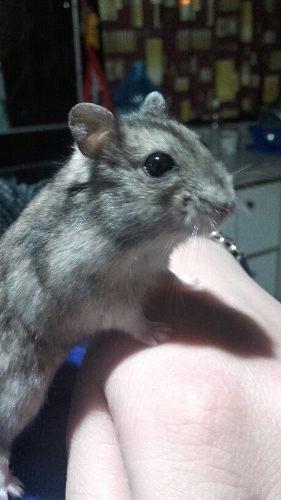 Hamsters rusos bebés!!
