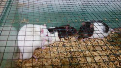 Ratas de criadero - medianas