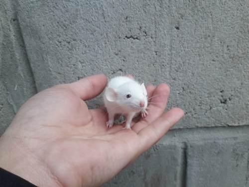 Ratas mascota,ratas dumbos