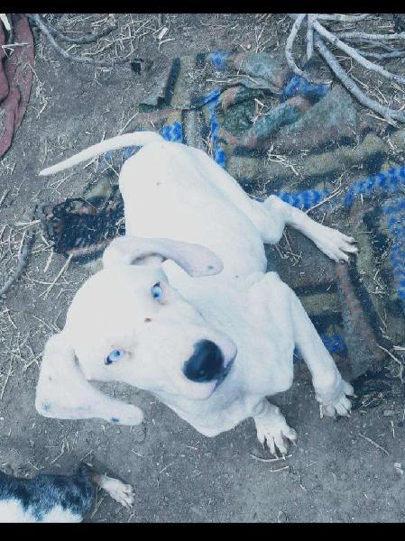Cachorra dalmata de ojos celestes