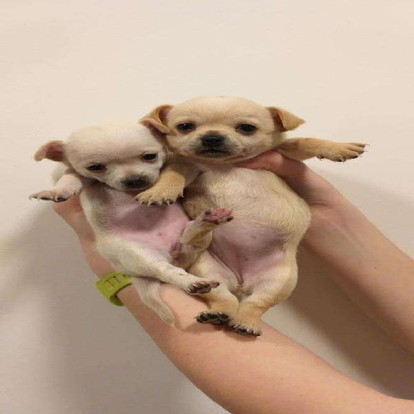 Chihuahua cabeza de manzana pelo corto