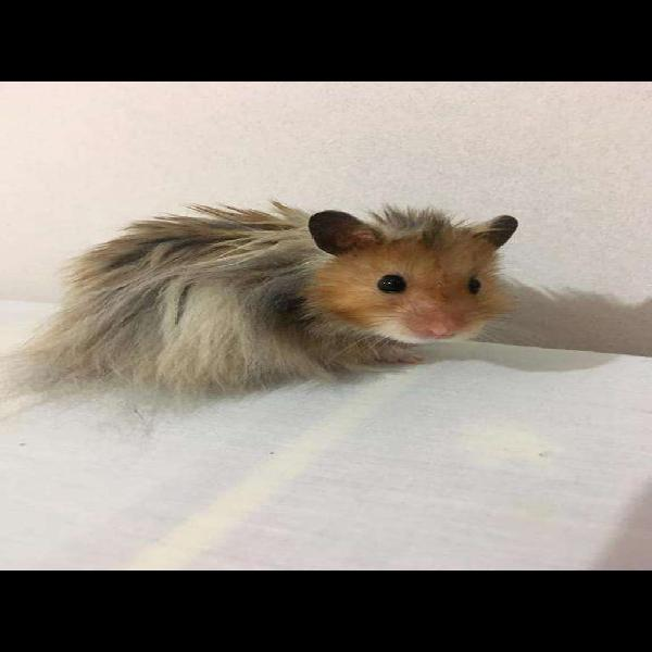 Criadero de hamsters angora
