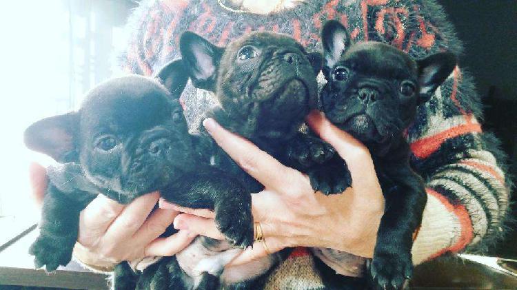 Bulldog frances cachorros con pedigre