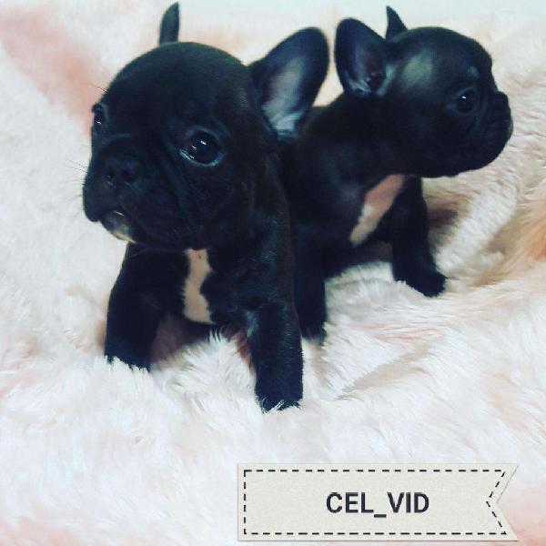 Bulldog frances mini venta cachorros papeles 549 1161511837