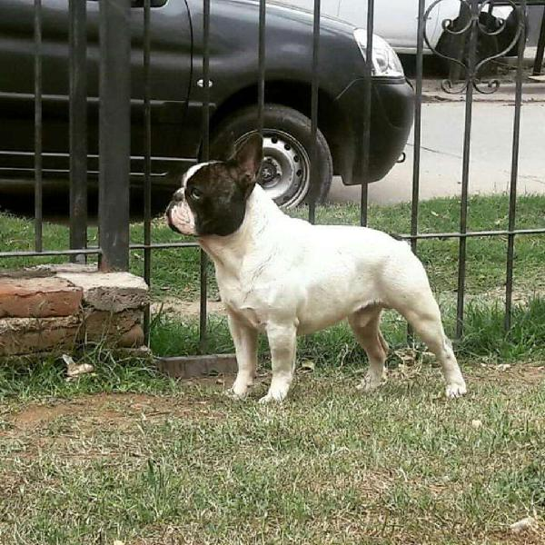 Bulldog Francés Macho en Servicio
