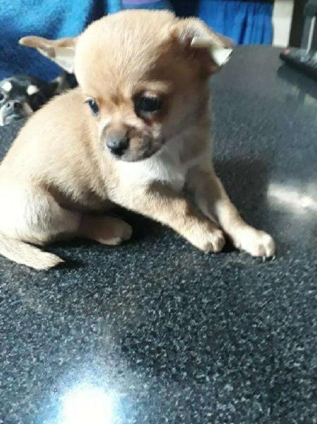 Chihuahua mini pelo corto macho