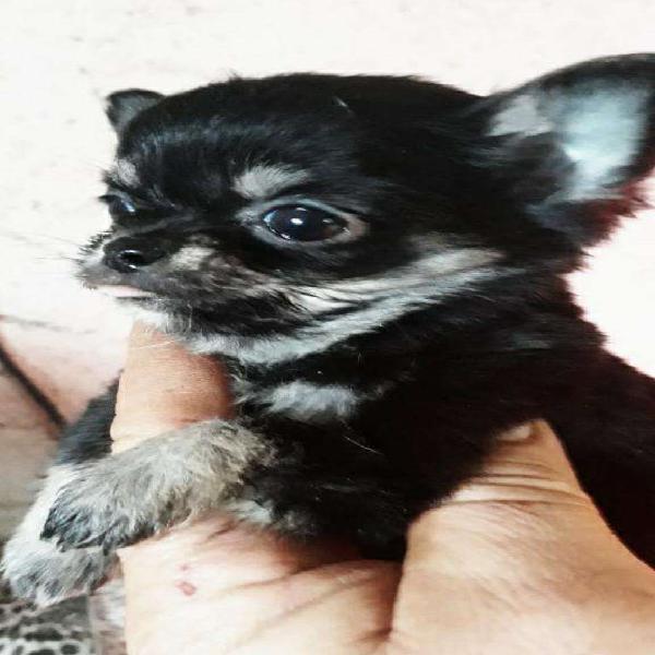 Chihuahua mini pelo largo macho