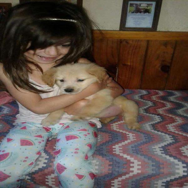 Labradores amarillos, negros y chocolates, lindísimos,