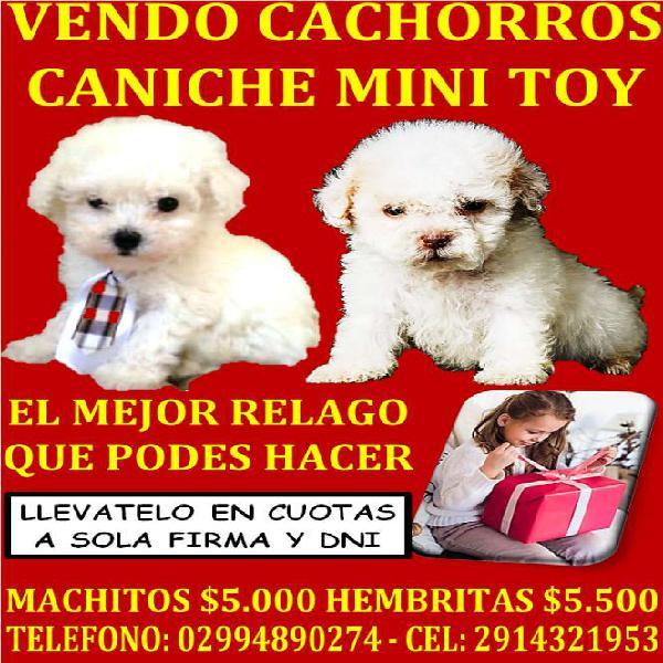 Vendo cachorros caniche mini toy