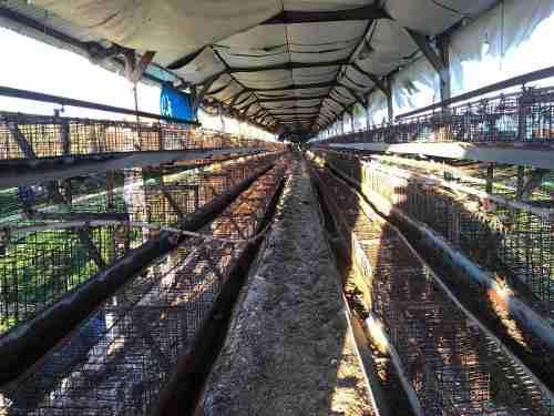 Jaulas para 1000 gallinas ponedoras con bebederos envíos