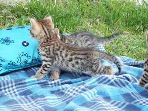 Cachorros gato bengal machos enteros excelente sangre envío