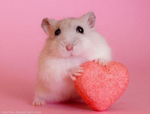 Hamster ruso bebe
