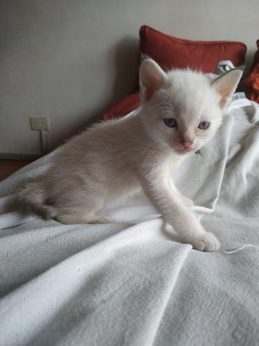 Gatos Siamés Tabby