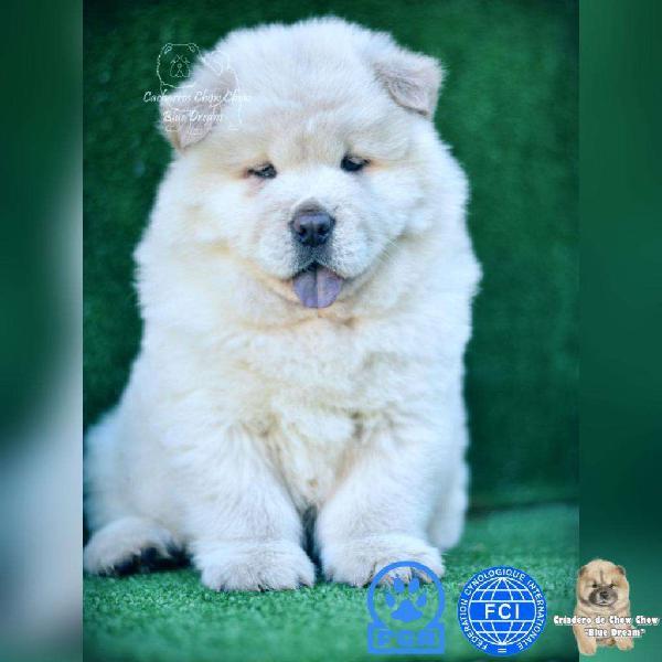 Bellos cachorros chow chow de ojos celestes con pedigrí