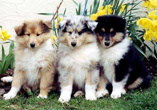 Cachorro collie!!! blue, dorado y tricolor!! envios a todo