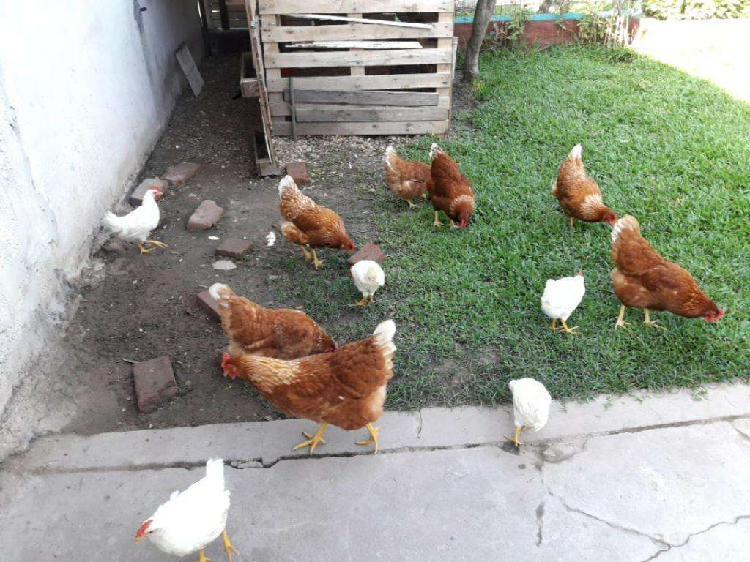 Gallinas ponedoras y pollitos.