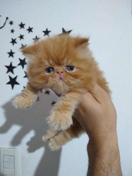 Hermosa gatita persa