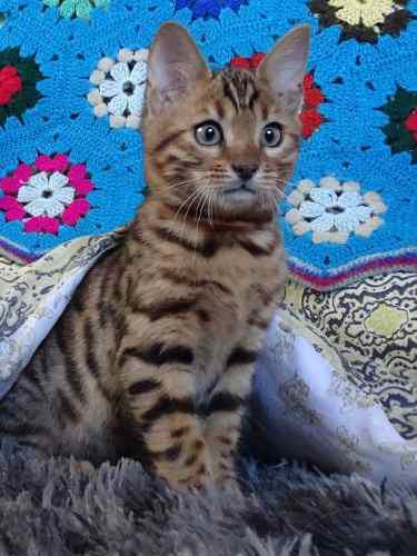 Gato gatito bengal macho entero apto cría exc pedigree