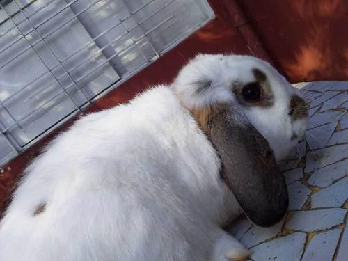 Conejo pareja reproducción macho holland y hembra negra