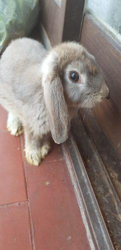 Conejos enanos holland lop orejas caídas + jaula 1m