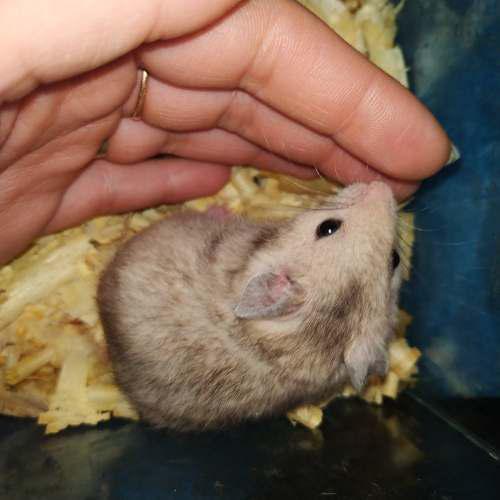 Hamsters sirios bebés