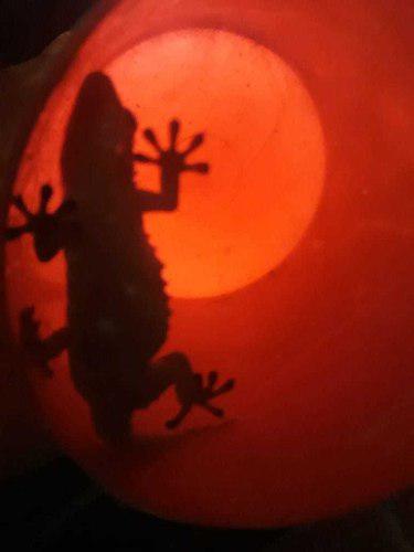 Gecko reptil mascota