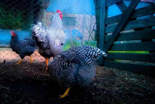 Huevos Fertiles Gallina Bataraza Plymouth Rock Gigante