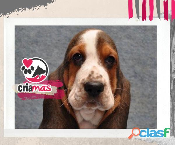 Basset hound   criamas amor