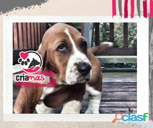 Cachorros beagle criamas amor