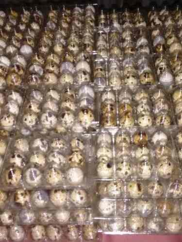 Huevos fertiles codorniz japonica x10docenas