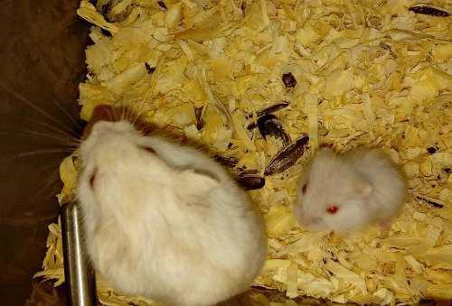 Hamsters rusos, varios colores.