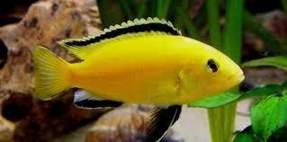 Limon o labidochromis caeruleus.ciclidos africanos malawi