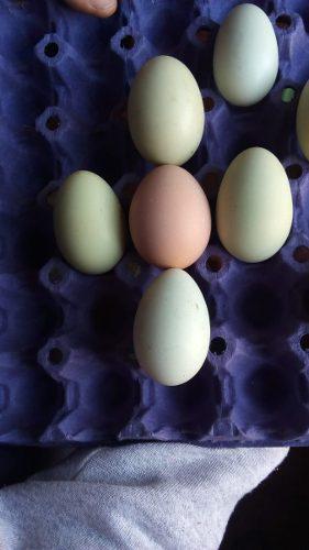Huevos fértiles gallinas criollas mapuches