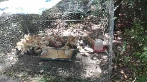 Pollas ponedoras coloradas