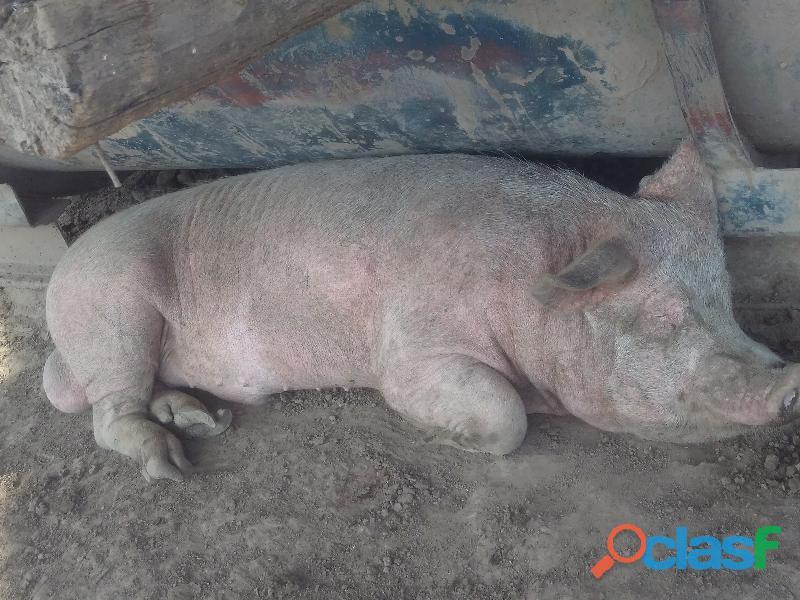 Criadero de cerdos cordoba