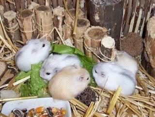 Hamsters rusos bebes por mayor y menor