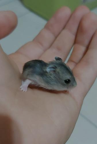 Hamsters rusos bebés | zona sur