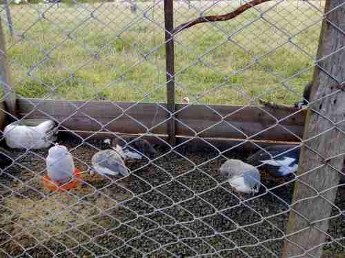 Gallinas de guinea (guineas de 120 dias)