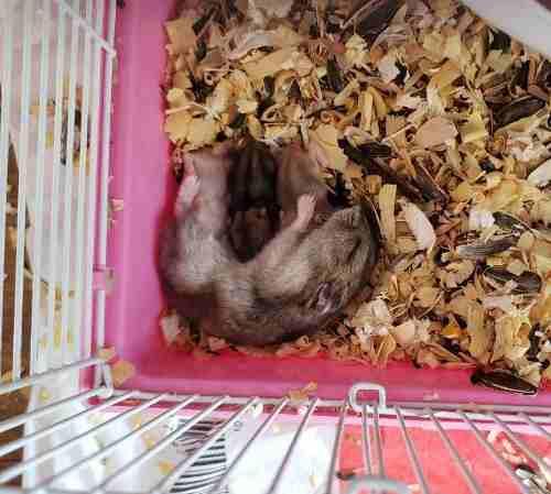Hamster rusos bebés. distintos colores!