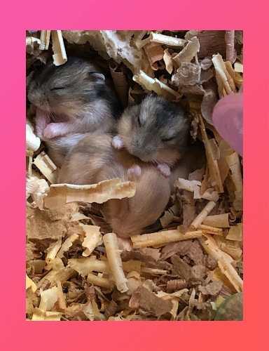 Hamsters rusos bebes
