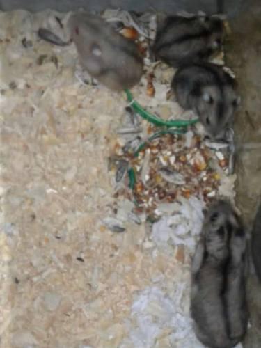 Hamsters rusos bebés!