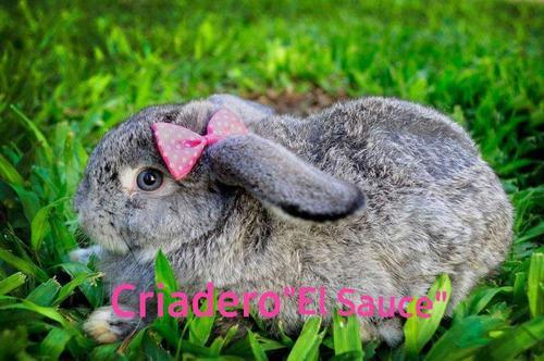 Conejos enanos de orejas caidas