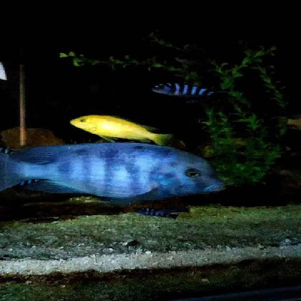 Cirtocara Moori o Delfín Azul del Malawi