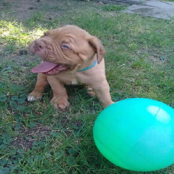 Dogo de Burdeos c/pedigree, chip y vacunados REC.TARJ.