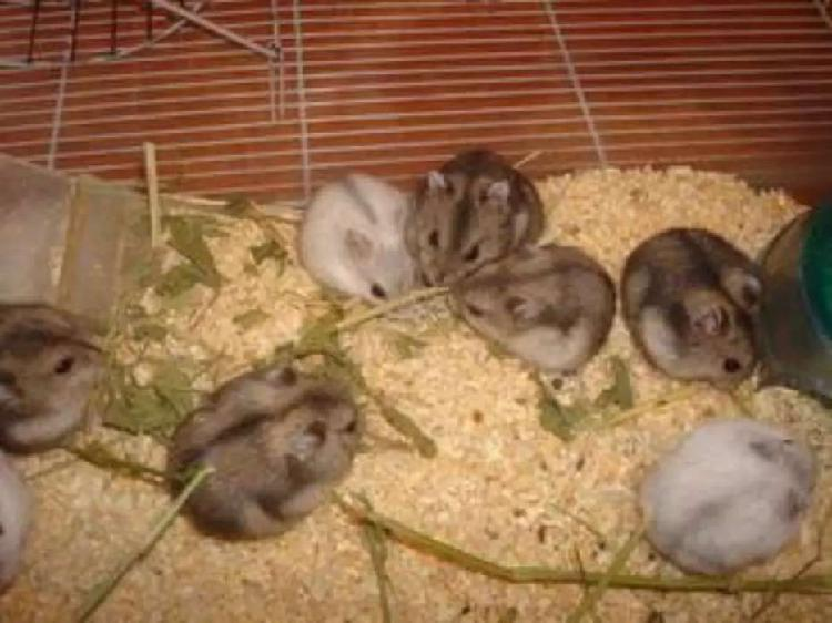 Hamsters rusos bebes por mayor y menor