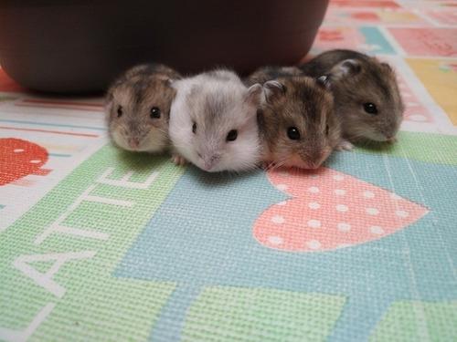 Hamsters rusos por mayor y menor