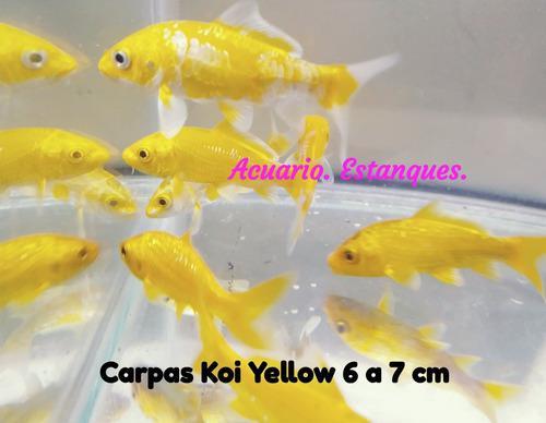 5 carpas koi yellow. acuarios. estanques. envios